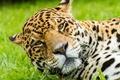 Picture cat, look, Jaguar, face