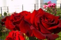 Picture summer, macro, mood, garden, Red roses