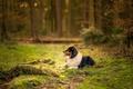 Picture grass, forest, dog, bokeh, australian shepherd, canine