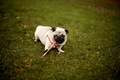 Picture dog, the game, grass, pug