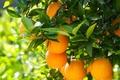 Picture oranges, nature, fruits, tree, fruit, wood, oranges, nature
