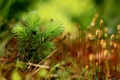 Picture drops, Rosa, background, moss, plants