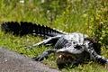 Picture Alligator, Crocodile, grass, reptile