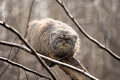 Picture the Pallas cat, on the tree, manul, look, manul