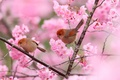 Picture flowers, pair, birds, tree, garden, branches, spring