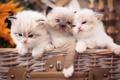 Picture Ragdoll, trio, kittens, kids, Trinity