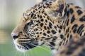 Picture cat, leopard, ©Tambako The Jaguar, profile