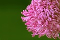 Picture macro, background, chrysanthemum