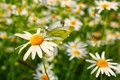 Picture bokeh, macro, chamomile, butterfly