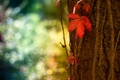 Picture red, macro, sheet, tree, bokeh, trunk, bark, glare