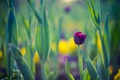 Picture purple, background, spring, Tulip, flower, leaves