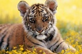 Picture Park, grass, Tiger