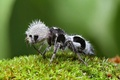 Picture photo, velvet ant, ant Panda