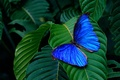 Picture leaves, background, butterfly, wings, insect, green, blue