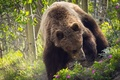 Picture bear, background, nature