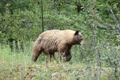 Picture Alberta, Canada, Grizzly Bear, Waterton, Waterton National Park, Bear.