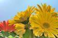 Picture macro, yellow, gerbera